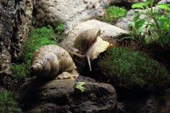 老虎蜗牛 库存图片