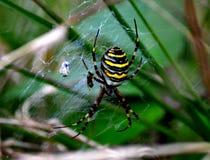 老虎蜘蛛 图库摄影