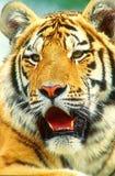 老虎表面 免版税库存照片