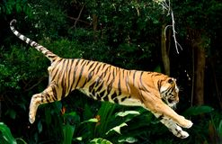 老虎豹属底格里斯河 图库摄影