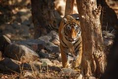 老虎通过树 免版税库存图片