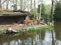 老虎野生性动物园水 免版税库存图片