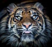 老虎面孔舌头 图库摄影