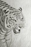 老虎面孔画象 库存照片