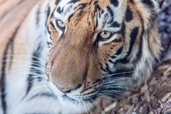老虎顶头特写镜头 库存图片