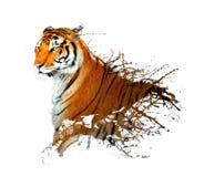 老虎飞溅 库存图片