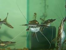 老虎鲶鱼,鱼是美丽的 图库摄影