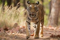 老虎,在射击的一个头 免版税库存照片