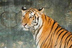 老虎,在瀑布的大猫 免版税库存图片