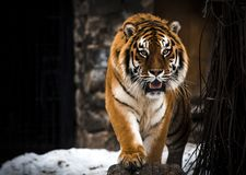 老虎,大猫,狂放 行动野生生物场面,危险动物 库存图片