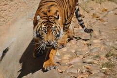 老虎,苏门答腊 库存图片