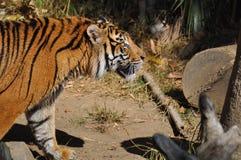 老虎,苏门答腊 免版税库存图片