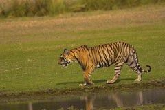 老虎,豹属底格里斯河底格里斯河, Pacman, Ranthambhore老虎储备,拉贾斯坦 图库摄影