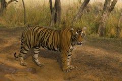 老虎,豹属底格里斯河底格里斯河, Pacman, Ranthambhore老虎储备,拉贾斯坦 库存照片