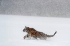 老虎,雪秋天 跑在雪的阿穆尔河老虎 在狂放的冬天自然的老虎 行动与危险动物的野生生物场面 冷的wint 库存照片