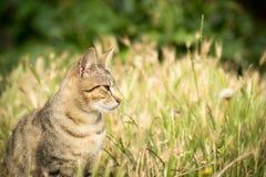 老虎仿造了坐在草和摆在的离群猫 免版税库存照片