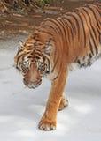 老虎 免版税库存图片