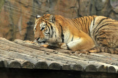 老虎 免版税图库摄影
