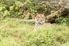 老虎animalwild在森林里 库存图片