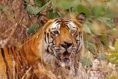 老虎Bamera,豹属底格里斯河, Bandhavgrh老虎储备 图库摄影