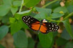 老虎Longwing Heliconius Hecale 免版税库存照片