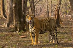 老虎Pacman,豹属底格里斯河, Ranthambhore老虎储备,拉贾斯坦 免版税库存图片
