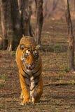 老虎Pacman,豹属底格里斯河, Ranthambhore老虎储备,拉贾斯坦 免版税图库摄影
