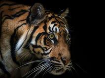 老虎Sumatran 免版税库存图片