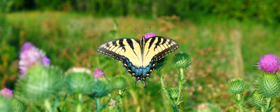 老虎Swallowtail在伊利诺伊 免版税库存照片