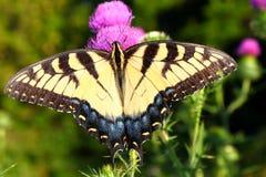 老虎Swallowtail蓟伊利诺伊 库存图片