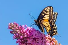 老虎Swallowtail蝴蝶 库存照片
