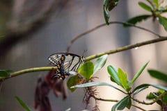 老虎Swallowtail蝴蝶Papilio glaucus 库存照片