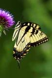 老虎Swallowtail蝴蝶(Papilionidae) 免版税库存照片