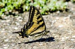 老虎Swallowtail 库存照片