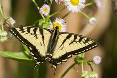 老虎Swallowtail (Papilio canadensis) 图库摄影