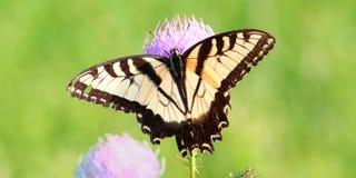 老虎Swallowtail (Papilio glaucus) 免版税库存照片
