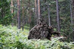 老蜂房在森林里 免版税库存照片
