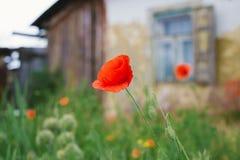 老被放弃的村庄房子和一朵红色鸦片花 免版税库存图片