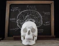 老解剖学委员会和头骨 免版税库存图片