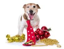 老起重器罗素狗和圣诞节 免版税图库摄影