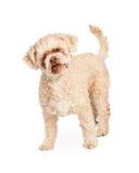 老长卷毛狗被混合的品种狗 库存照片