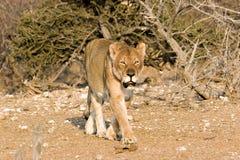 老雌狮 免版税图库摄影