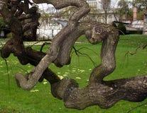 老雕塑结构树 库存照片