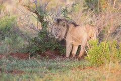 老食物的狮子男性狩猎本质上 免版税库存照片