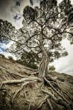 老鬼的结构树 免版税库存图片
