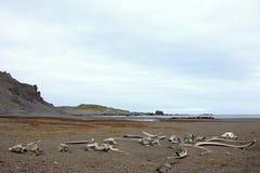 老鲸鱼从捕鲸天,南极洲去骨左 免版税库存图片