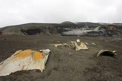 老鲸鱼从捕鲸天,南极洲去骨左 图库摄影