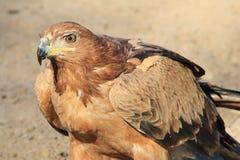 老鹰、黄褐色-从非洲的野生鸟-力量和自豪感 免版税库存照片