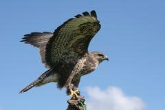 老鹰传播 库存图片