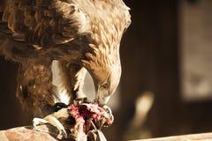 老鹰吃 库存照片